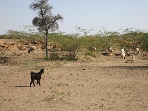 Ziegen in Freilandhaltung_Indien